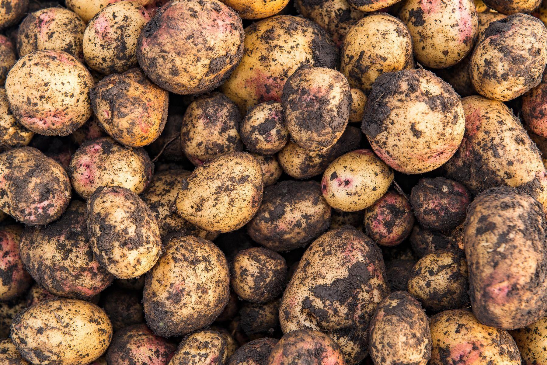 Nyplockad ekologisk potatis. Arkivbild.