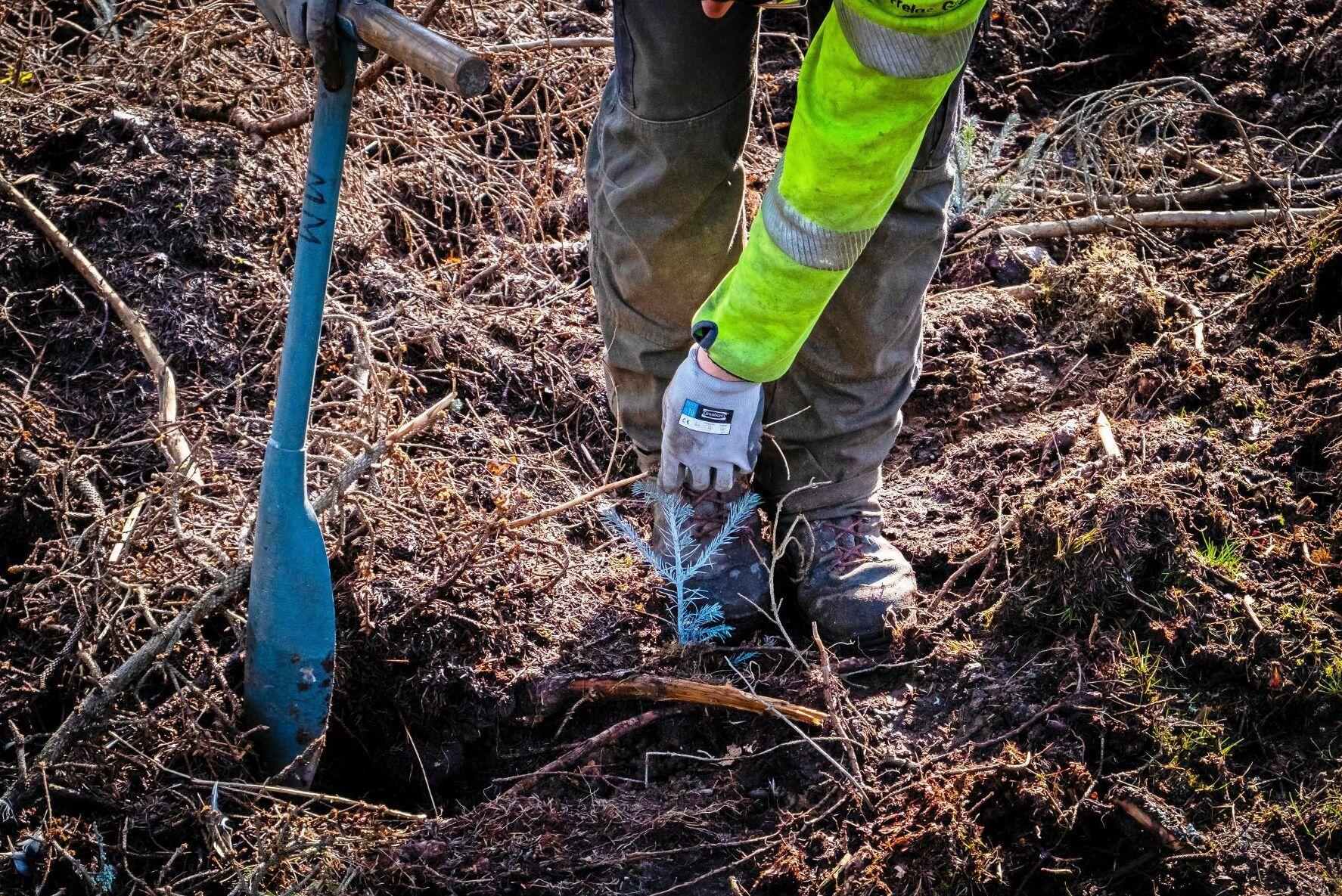 Omkring 350 miljoner plantor per säsong sätts normalt i Sverige. Hur många det blir i år vill ingen sia om.