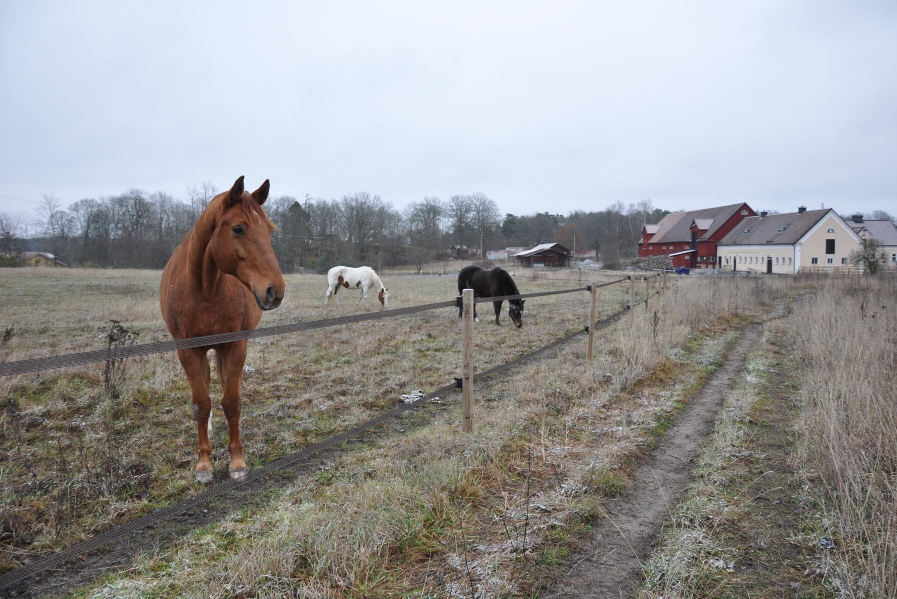 Hästarna i hagen och Stall Kungsgården i bakgrunden. Pantheon, som står i förgrunden, och de andra stödhästarna är snälla, trygga och sociala.