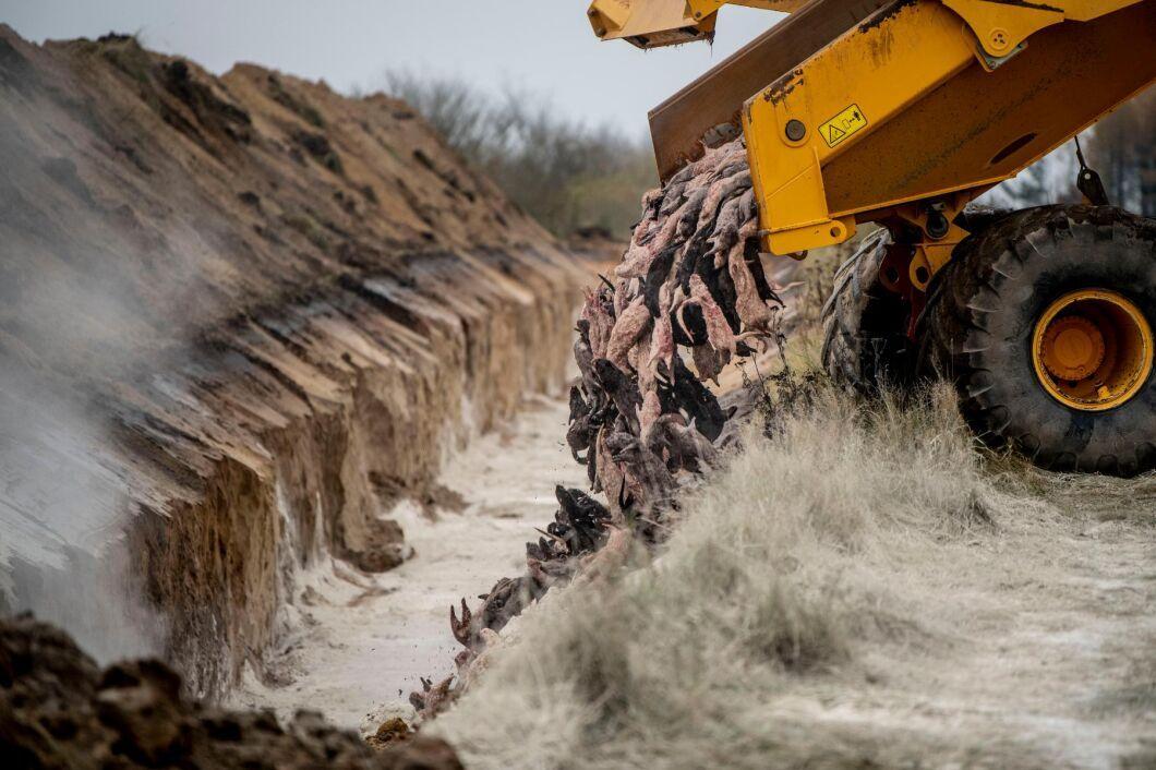 Runt elva miljoner minkar har avlivats och destruerats i Danmark på grund av ett coronautbrott bland besättningarna i landet (arkivbild).