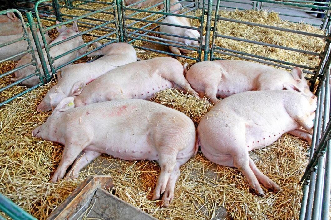 För att förhindra vidare spridning av afrikansk svinpest avlivas 140 000 grisar på en rumänsk jättefarm. Arkivbild.