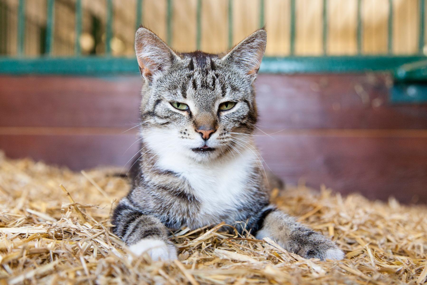 En avelsplan om bondkatter har väckt starka känslor bland kattvänner. Nu dras godkännandet från Jordbruksverket tillbaka. Arkivbild.