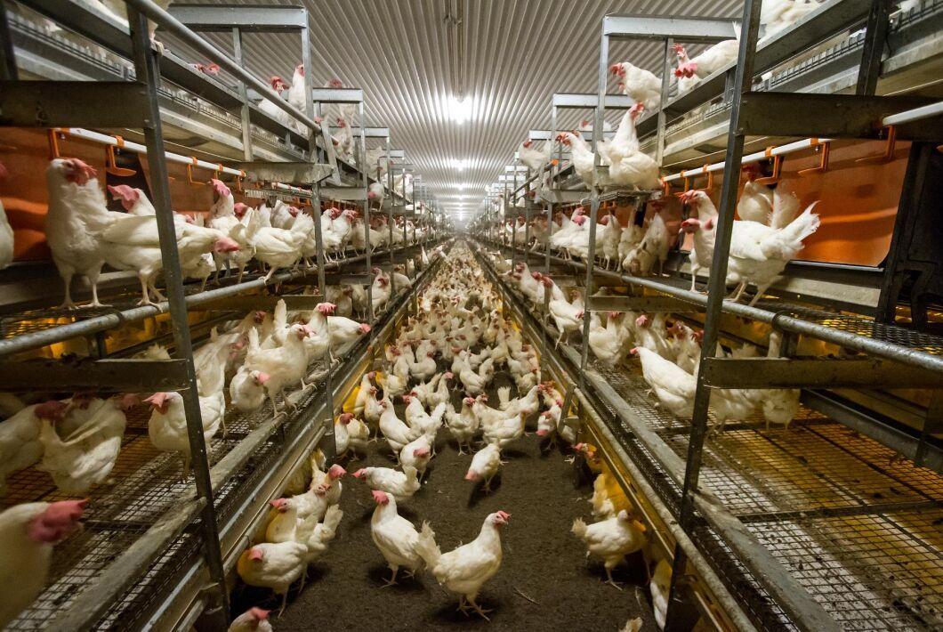 Hittills har tolv utbrott av fågelinfluensa konstaterats hos tamfågel i Sverige sedan i november (arkivbild –fåglarna på bilden har inget med artikeln att göra).