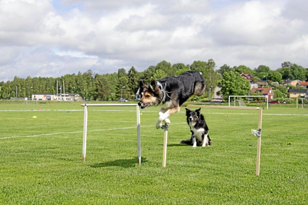 En hund som ska prestera på mästerskap måste träna lika mycket som en elitidrottare. Här är Snipe och Seven i full gång på träningsbanan.