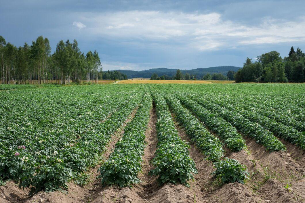 Arealen matpotatis var 16320 hektar på riksnivå år 2020.