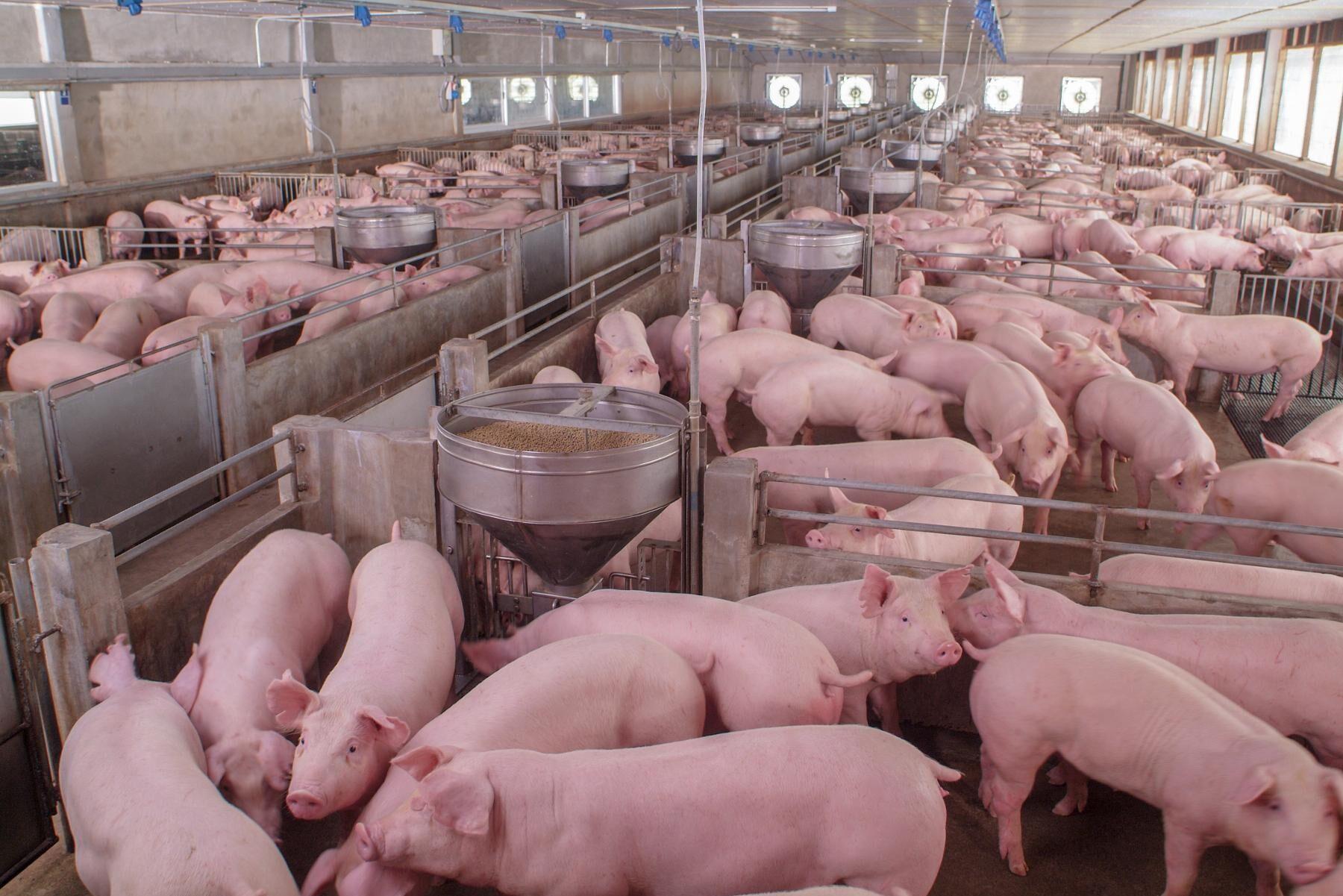 Efterfrågan på griskött är större än utbudet i stora delar av Europa.