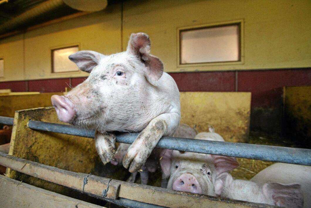 Planerade djurstallsinvesteringar är störst bland grisköttsproducenter där 18 procent planerar för investeringar.