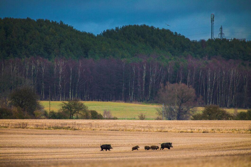 Av de som drabbats av viltskador uppger tre av fyra i undersökningen att vildsvin är orsaken (arkivbild).