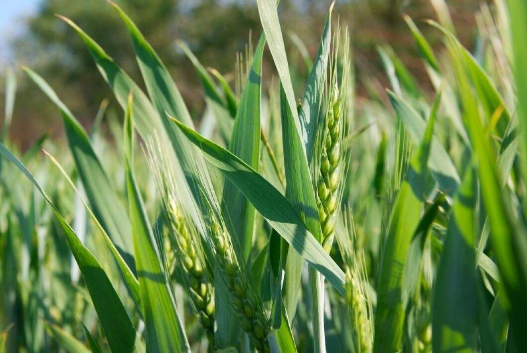 Yaras gödselpriser ner med 15 till 20 procent för den nya säsongen.