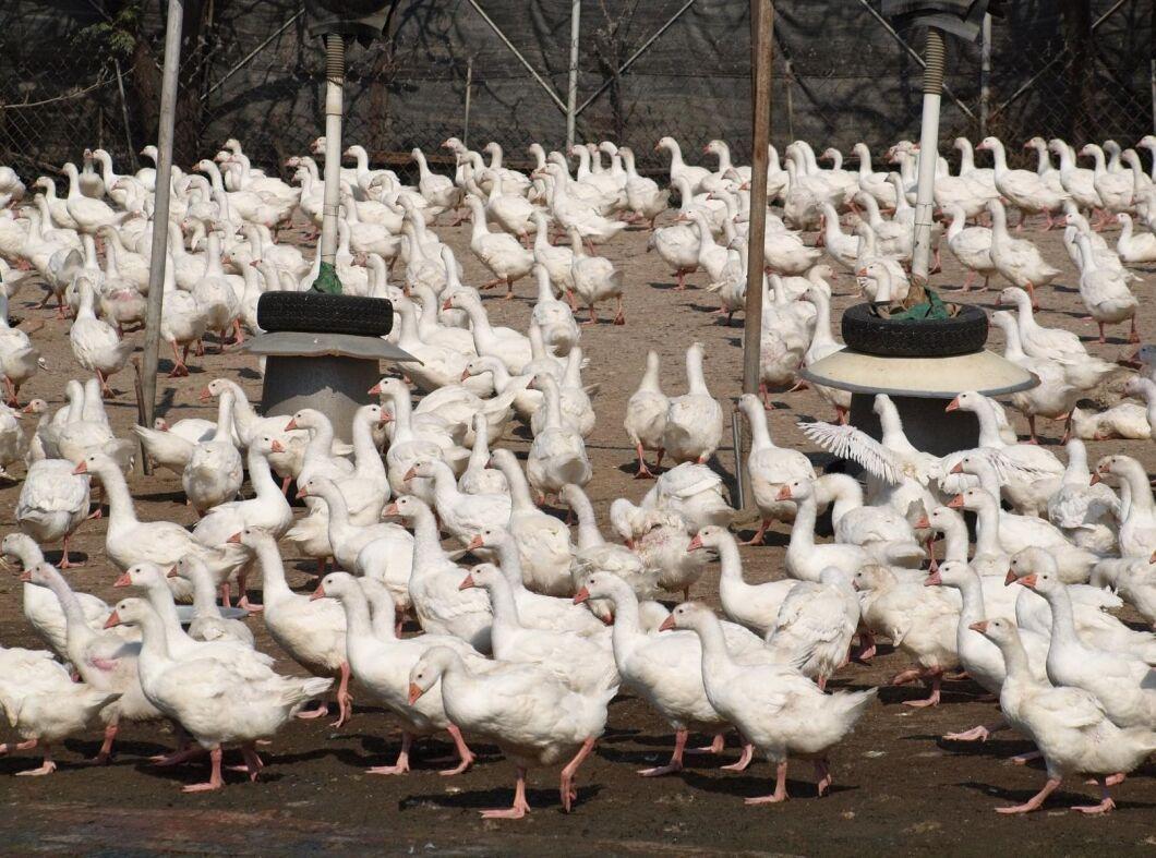 Alla gårdarna i den sydvästra Frankrike ska helt tömmas på fågel, och därefter rengöras, desinfekteras och testas innan de kan ta emot nya ungar.