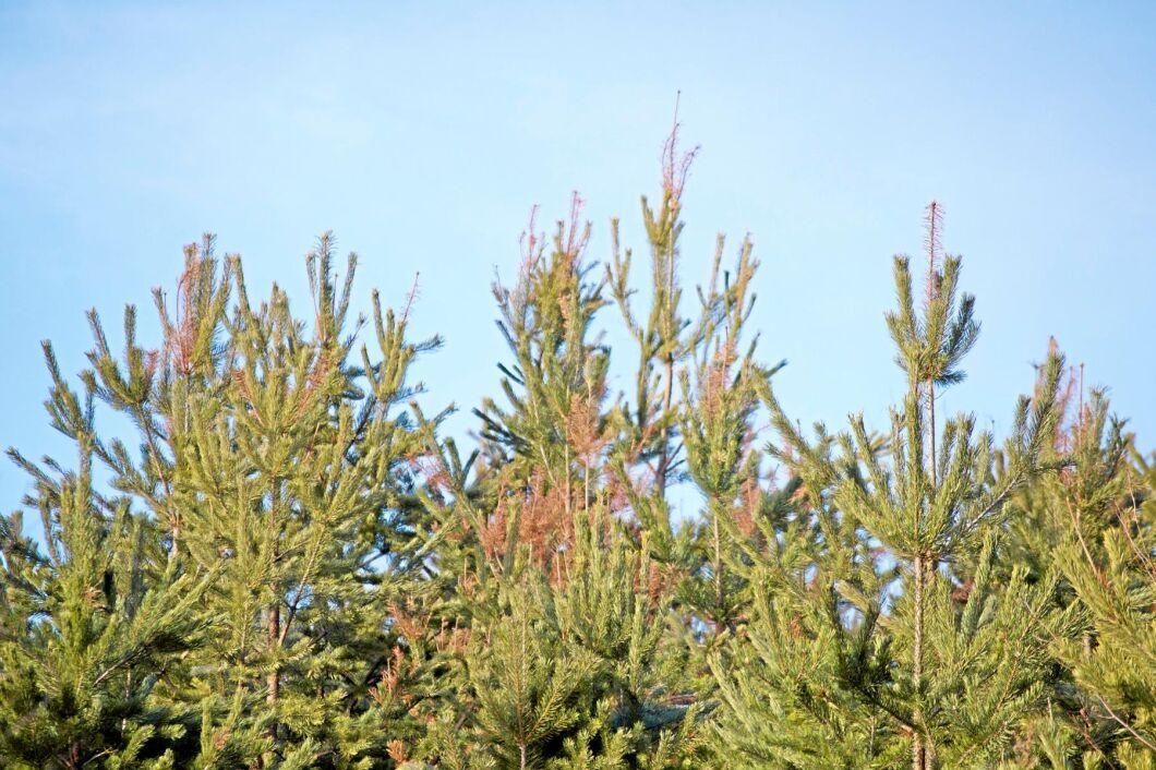 Svampen kan i värsta fall ta död på ett träd men framför allt handlar det om tillväxtförluster och skador som sätter ned kvaliteten. I dag finns inget regelverk kring skadegöraren och det utgår ingen ersättning till skogsägaren för eventuella förluster.