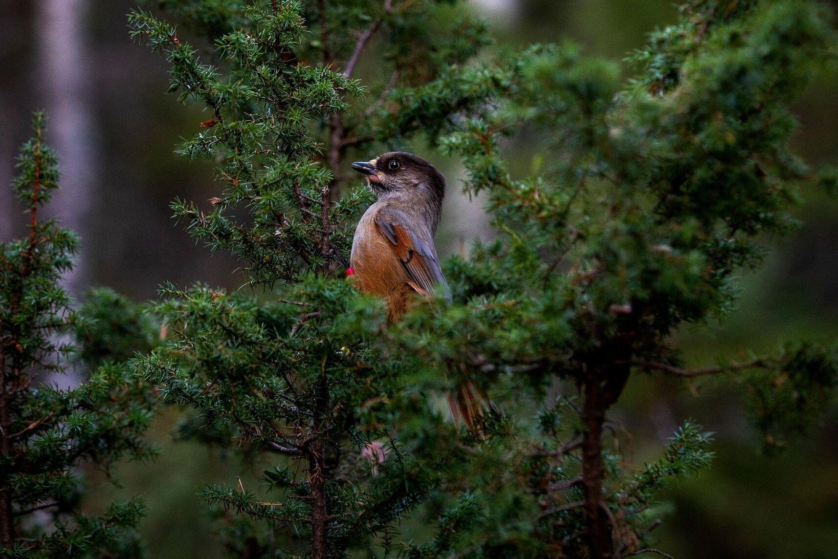 Domstolen skriver att åtgärder i skogsbruket som kan skada fågelns fortplantningsområden omfattas av artskyddsförordningen.