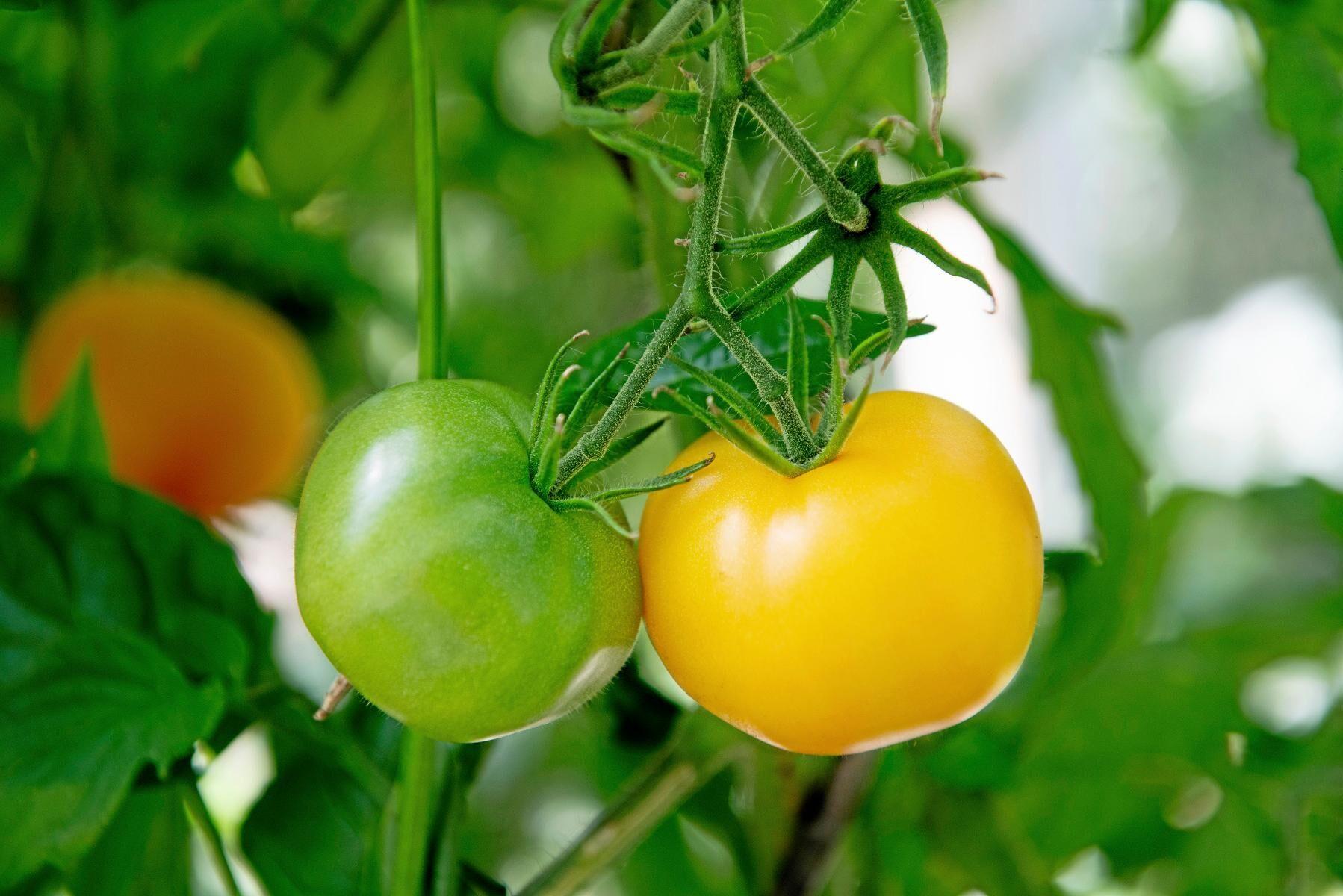 EU-parlamentet vill inte att naturligt förekommande egenskaper hos till exempel tomater ska få patenteras.