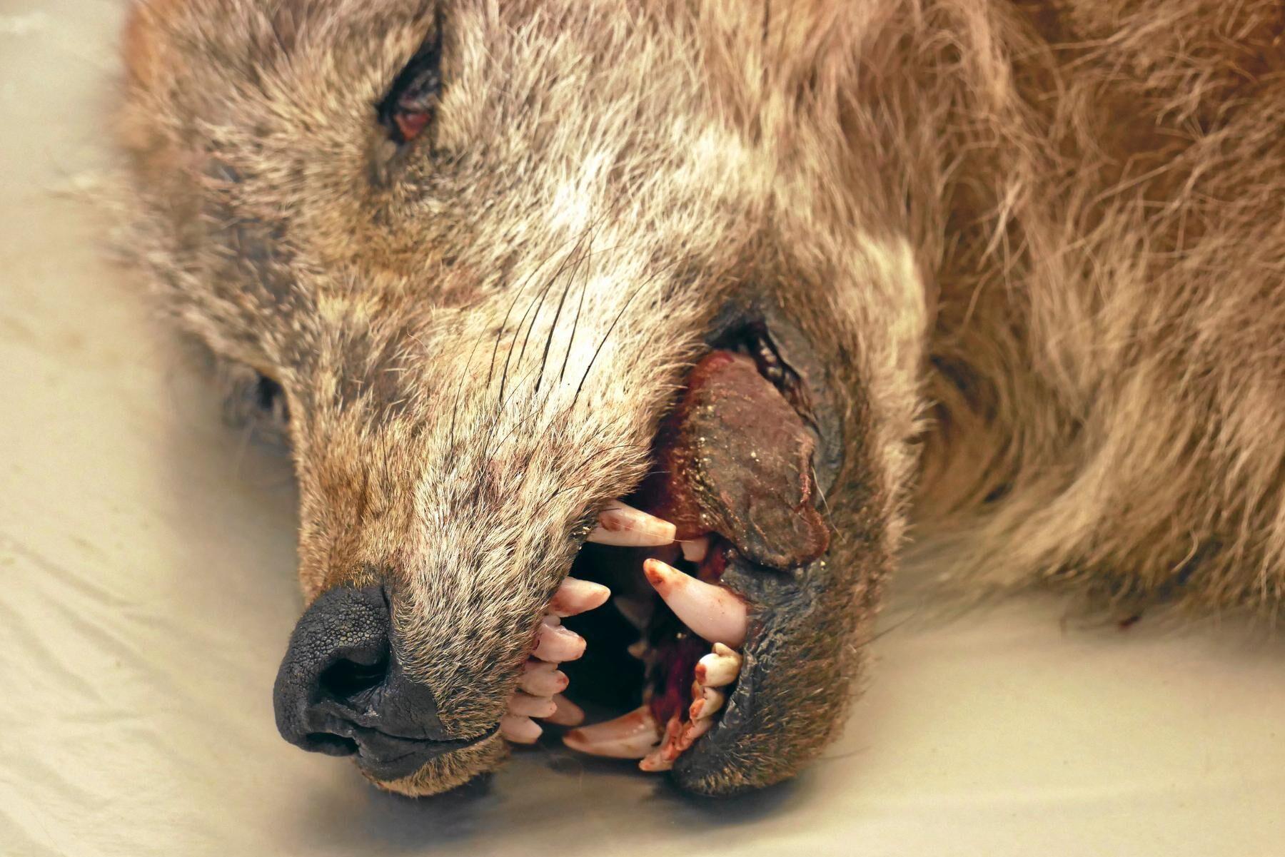 Misstankarna mot de fem männen gäller tjuvjakt på rovdjur, framför allt varg.