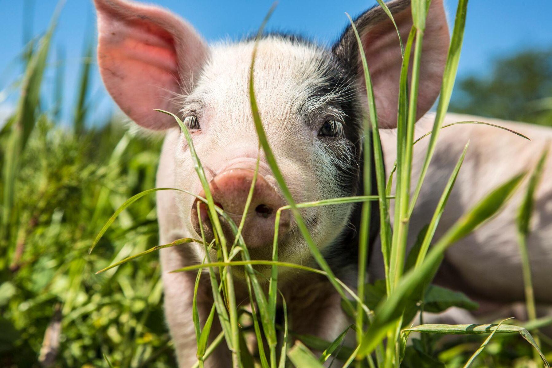 Av alla EU-länder är det bara Sverige och Finland som undviker att rutinmässigt kupera knorren på griskultingar. Arkivbild.