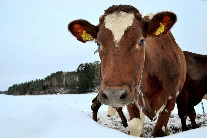 Ny siffror från kokontrollen visar att svenska ekokor blivit något färre men mjölkar bättre.