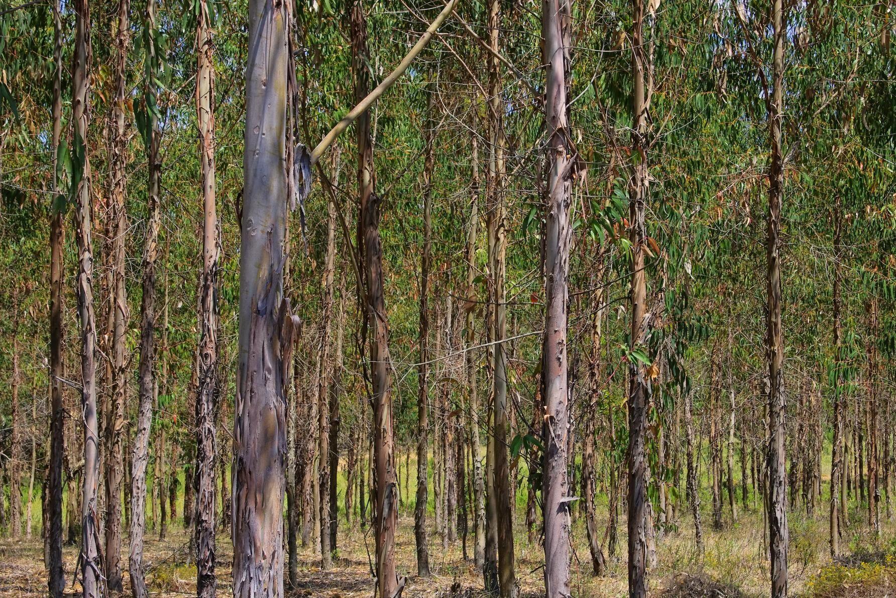 Australien vill satsa mer på plantageskogsbruk för att öka upptaget av koldioxid.