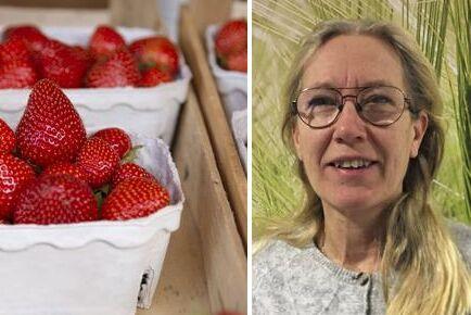 Jordgubbsodlaren Eva Axelsson driver Ringstad Gård utanför Norrköping. Hon väntar på besked från Migrationsverket om tio säsongsanställda från Serbien.