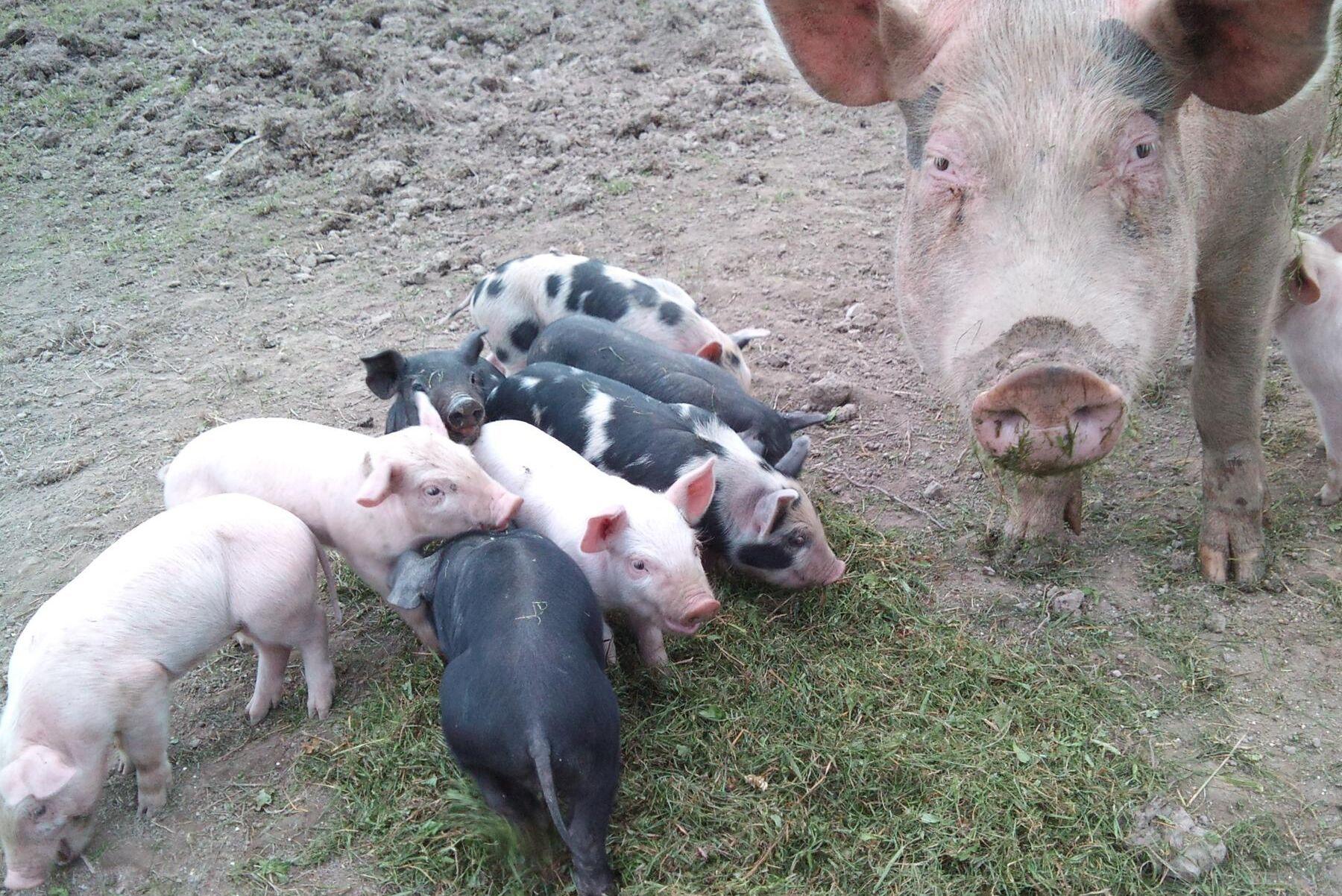 Kilopriset på ekogriskött har minskat kraftigt i Danmark.