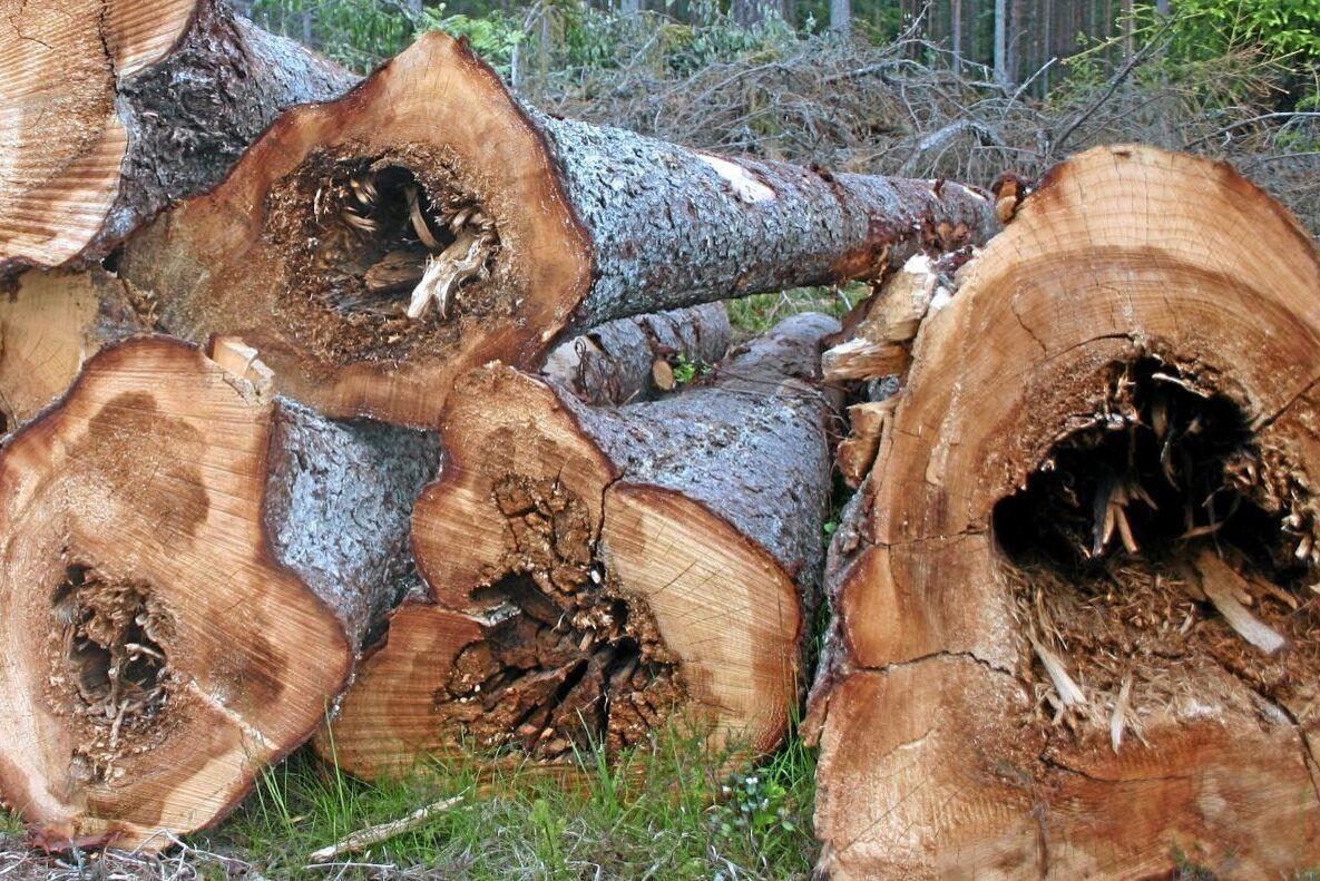 Rotröta kostar varje år skogsindustrin 0,5-1 miljard kronor.