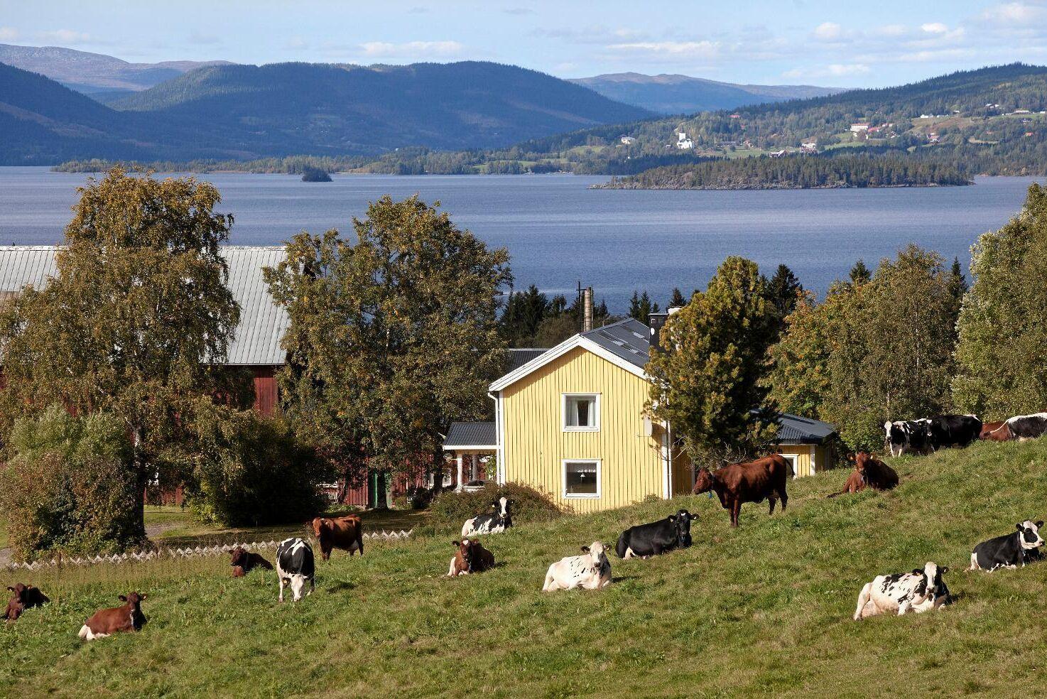 Kor framför Kallsjön, Jämtland. Framför allt är det företag med nötkreatur som minskar i antal, visar ny statistik från Jordbruksverket.
