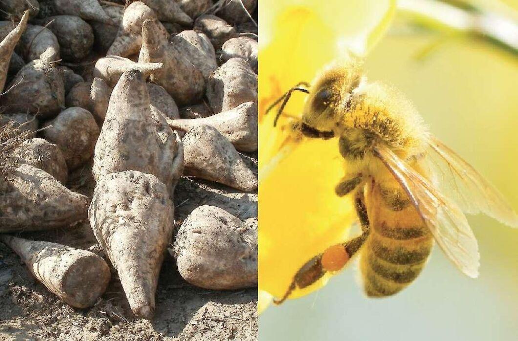 Betor står mot bin. I veckan förväntas EU ta ställning till om neonikotinoider ska få användas utanför växthus.