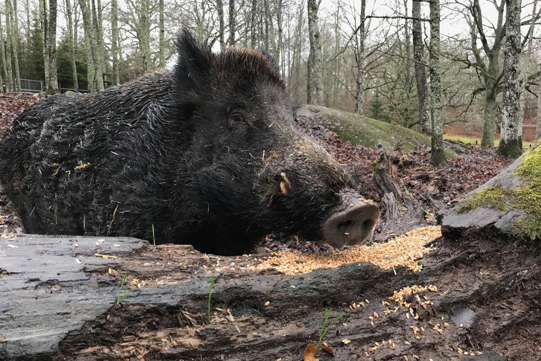 Genom en ändring i jaktlagen ska länsstyrelsen från 1 oktober i år kunna stoppa utfodring av vilt (arkivbild).