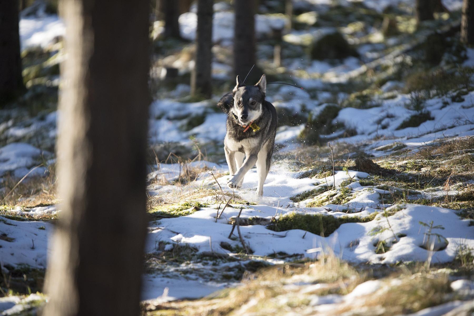 Virpi på väg efter en sökrunda. Att älghunden håller kontakt med hundföraren under jakten mellan sökrundorna är viktigt.