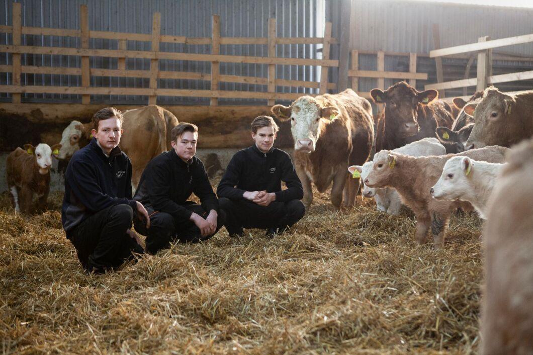 Kalvningen är i full gång när ATL besöker stallet i Öja. Från vänster: Hjalmar Månsson, Malte Månsson och Frans Fransson.