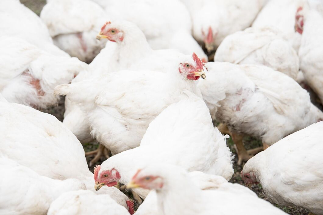 Livsmedelsverket hade tagit fel på vilken dag de 3 652 kycklingarna skulle slaktas. Det innebar att det blev nödslakt och destruering av fåglarna.