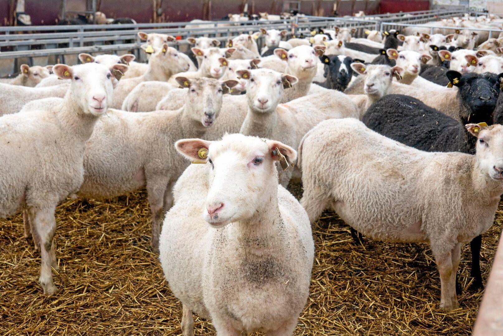 Den 16 november kommer det att finnas garn gjort på svensk ull att köpa i butik och online (arkivbild).