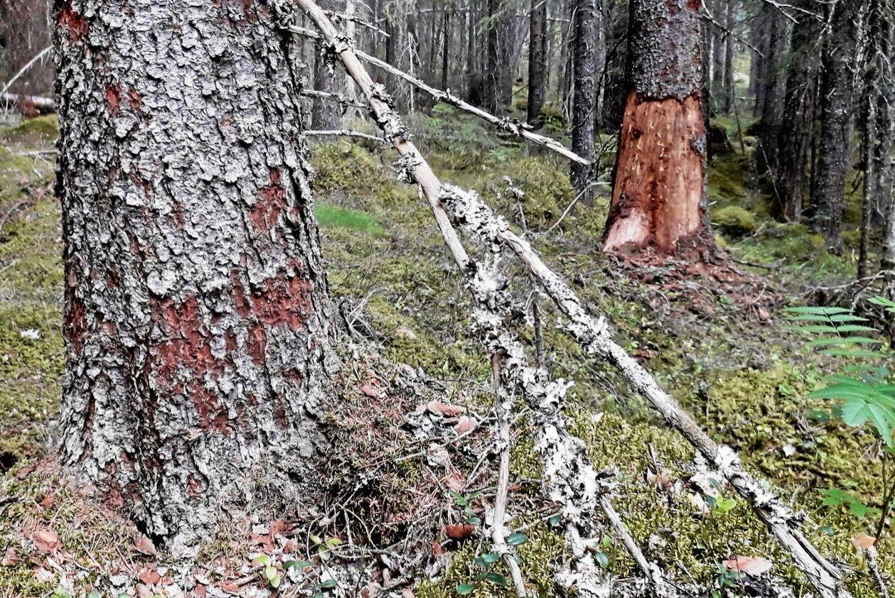 Död granskog efter barkborreangrepp.