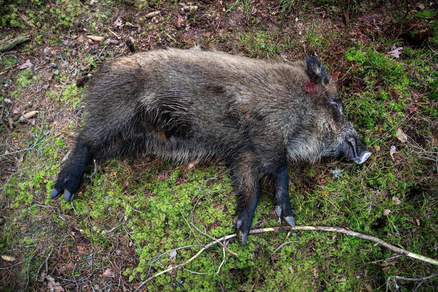 I dagsläget återstår mindre än fem vildsvin i Danmark, enligt den statliga myndigheten Naturstyrelsen. Arkivbild, tagen i Sverige.