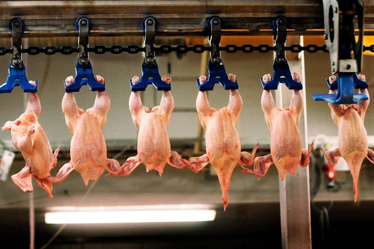 Slakteriet anmäldes i april, efter att det förra året framkommit att minst tio kycklingar skållats levande. Arkivbild.
