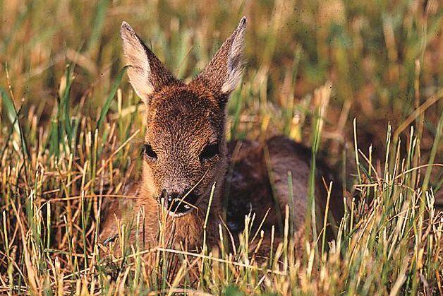 Rådjuren orsakar stora skogsskador på Gotland.