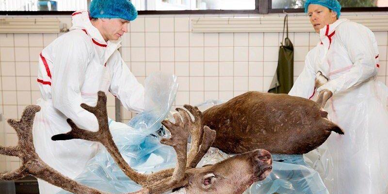 Hur de norska hjortdjuren fått CWD är fortfarande ett mysterium för forskarna.