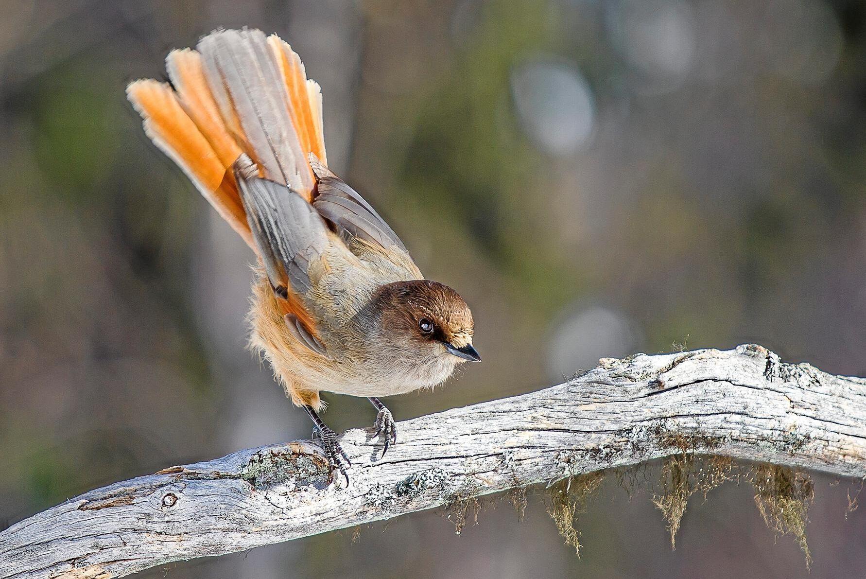 Lavskrikan är en liten kråkfågel som trivs bäst i lavklädd barrskog. Utbredningsområdet är från Norge till östra Sibirien.
