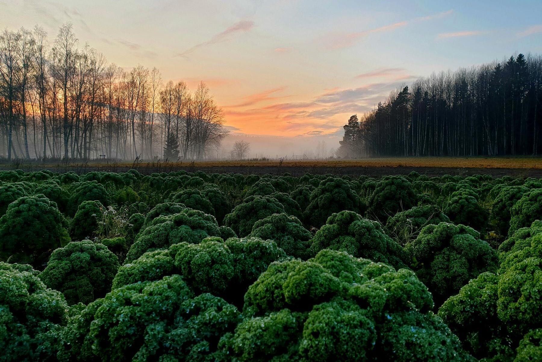 Vanligtvis skördas grönkål fram till mitten av januari men med minskad efterfrågan tror Ulf Engström att det blir en längre period denna gången.