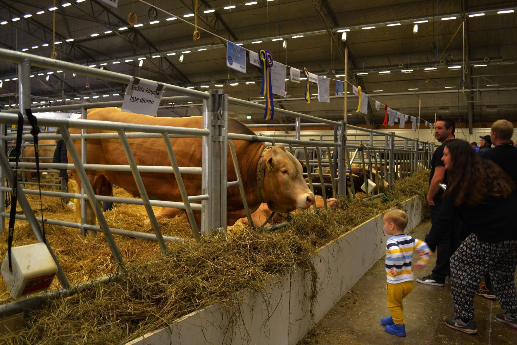 På Elmia Lantbruk i februari kommer det att visas upp många kött- och mjölkdjur. Bild från ett tidigare mässtillfälle.