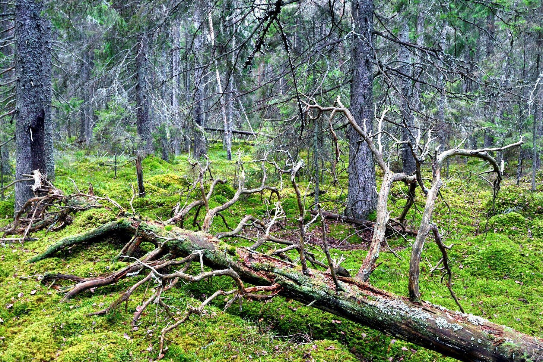 Gammal skog fungerar dåligt som kolsänka, enligt danska forskare. Däremot har den stor betydelse för den biologiska mångfalden.