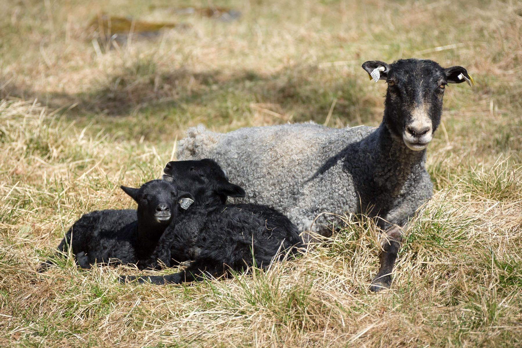 Konkurrensen ökar om lammen på Gotland.