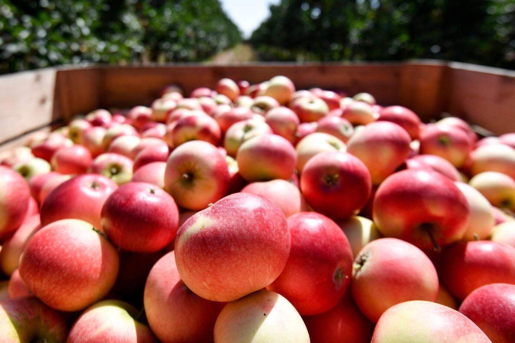 En skånsk fruktsprit gjord på äpplen måste byta namn på grund av alltför stora likheter med det skyddade franska varunamnet calvados, enligt en dom i förvaltningsrätten. Arkivbild.