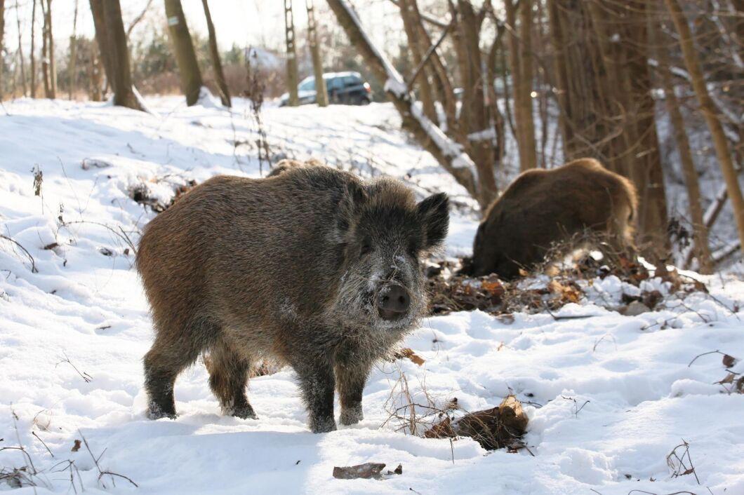 Vildsvin i västra Polen. Landet har drabbats av många fall av afrikansk svinpest.