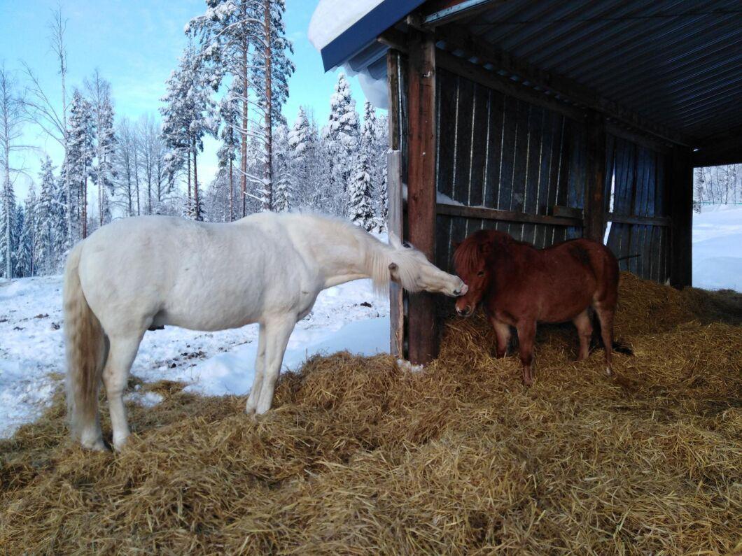 Hästarna Max och Pär i hagen på Gröna Hälsokrafter i Lillkorsträsk utanför Älvsbyn.