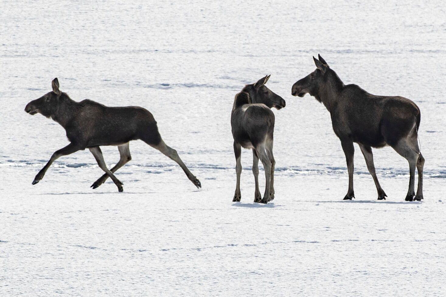 Älgar gick igenom förrädiska isar i Arjeplogstrakten på lördagen. Arkivbild.
