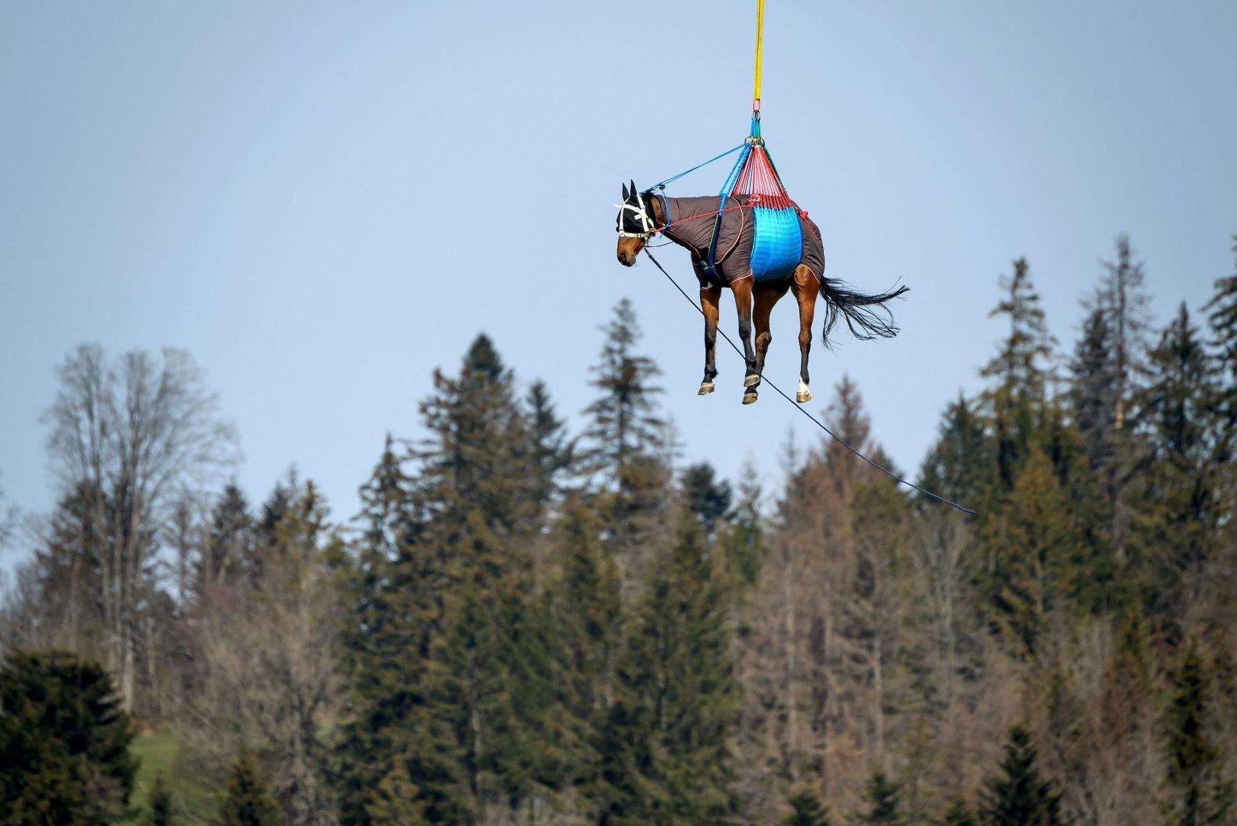 En bild från försöken den 9 april i Saignelegier i schweiziska kantonen Jura där hästarna lyftes och flögs över trätopparna i 45 minuter i hastigheter upp till 140 kilometer i timmen. Syftet med försöken var att hitta rutiner för att kunna transportera svårt skadade hästar längre tid i luften för att snabbt få adekvat vård på hästklinik.