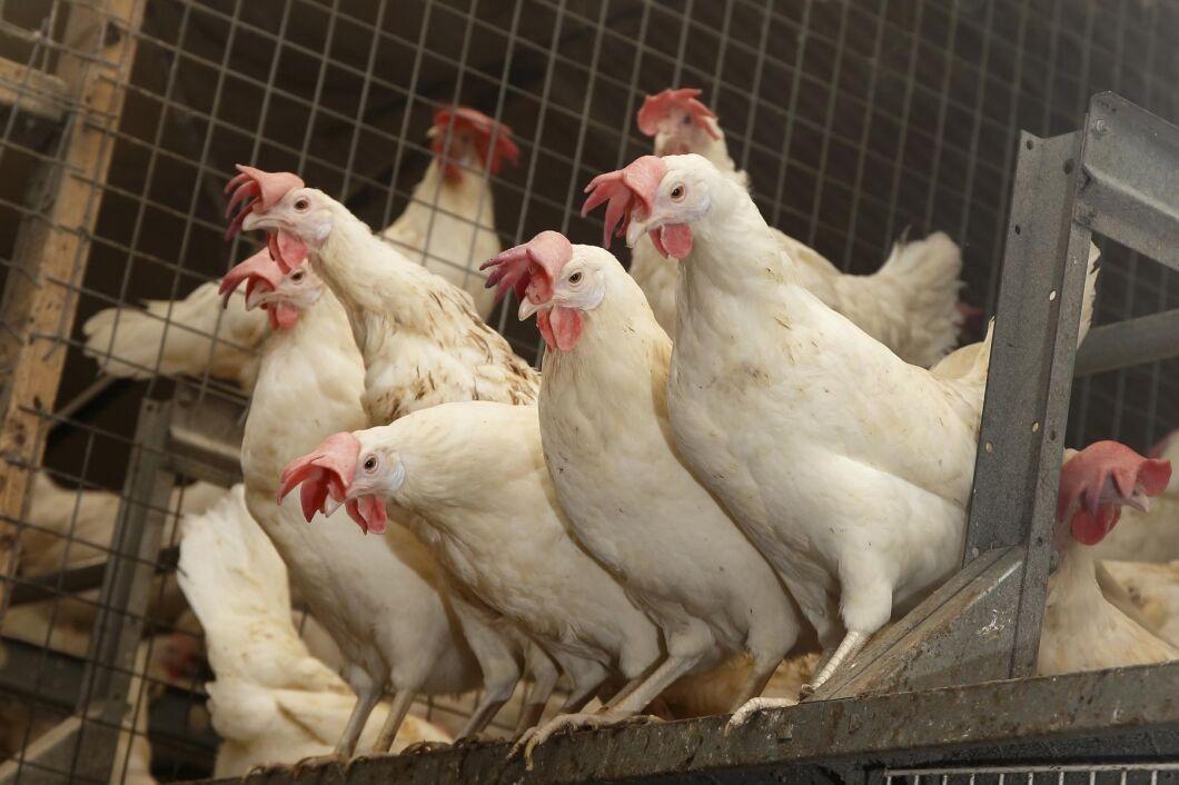 En värphönsbesättning har drabbats av H5N8.