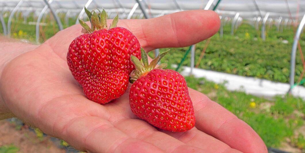 Den närmaste veckan avgör hur tillgången på jordgubbar blir inför midsommar.