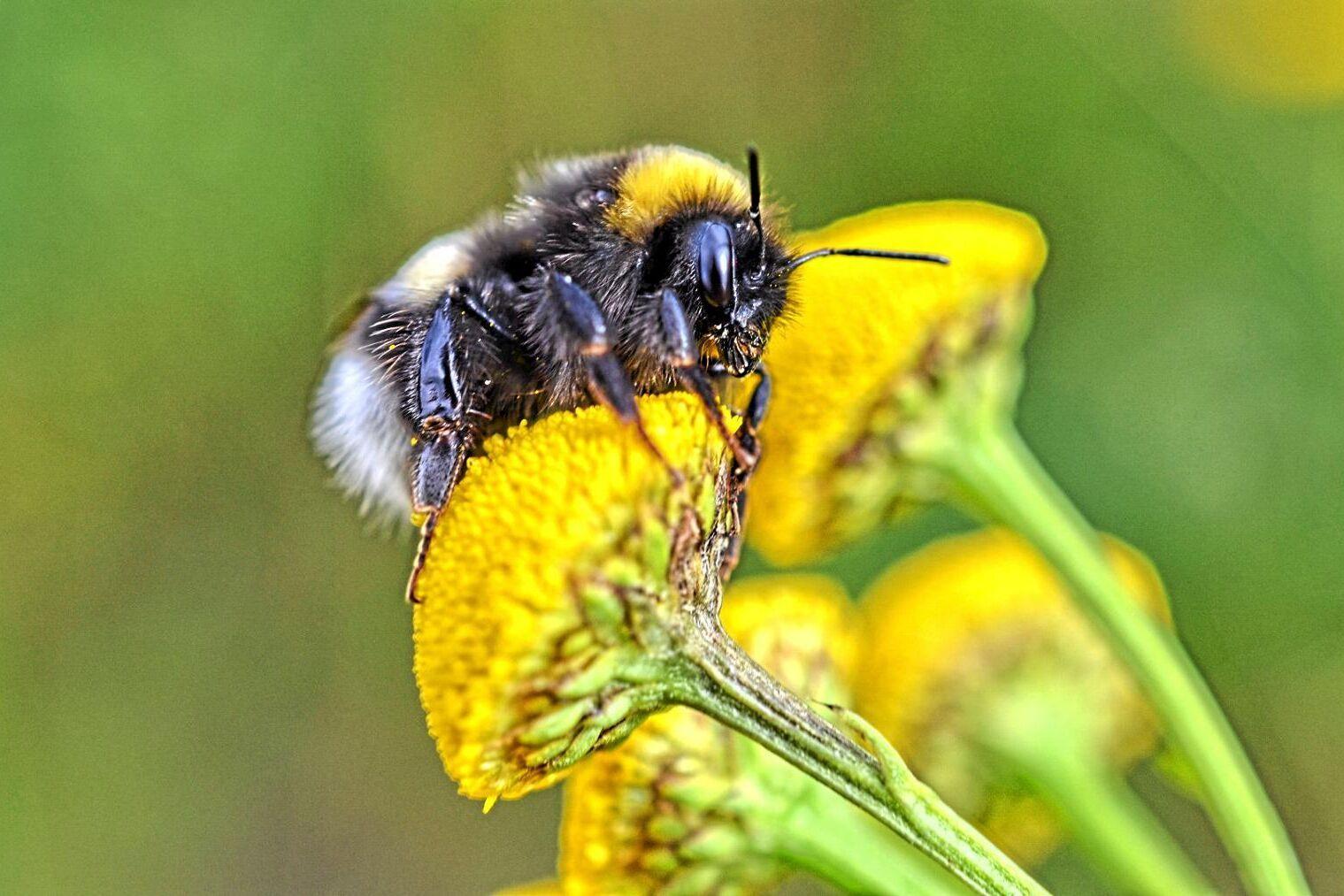 EU måste bli bättre på att skydda vilda pollinerare, som humlor, anser Europeiska revisionsrätten.