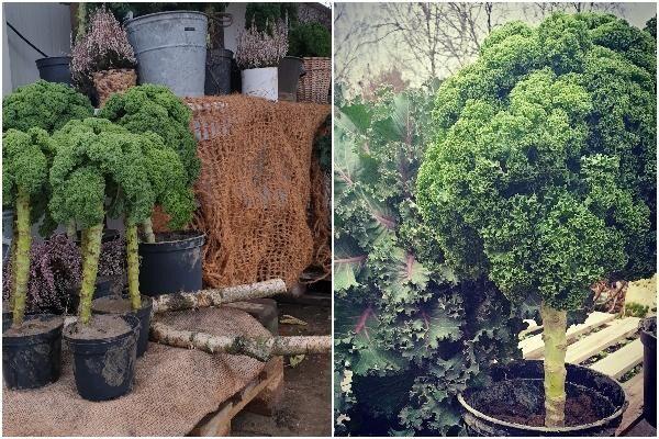 Grönkål säljs som träd under julen.